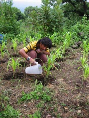 fertilizado maiz